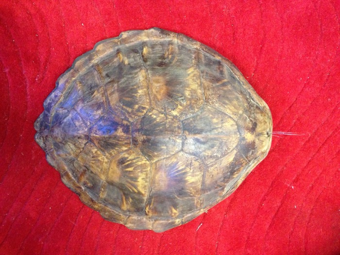 Authentic Turtle Shell - Prop For Hire