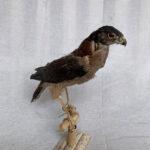 Bird of Prey - Prop For Hire