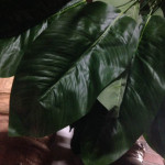 Large Leaves - Prop For Hire