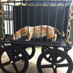 Leopard In Wagon - Prop For Hire