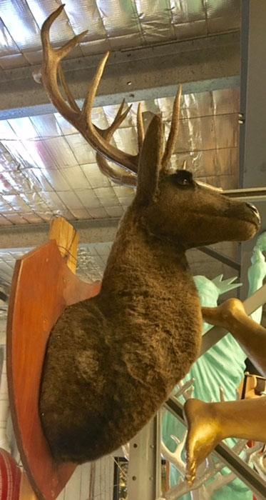 Mounted Deer Head - Prop For Hire