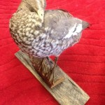 Taxiderm Duck 1 - Prop For Hire