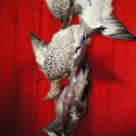 Taxiderm Duck 2 - Prop For Hire