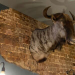 Taxidermy Wildebeest - Prop For Hire